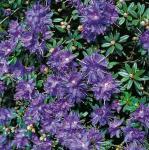 Zwerg Rhododendron Azurika 40-50cm - Rhododendron impeditum - Zwerg Alpenrose