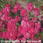 Hochstamm Rose Super Excelsa® 80-100cm