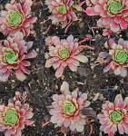 Hauswurz Turmalin - Sempervivum cultorum