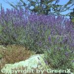 Echter Lavendel Hidcote Blue - Lavandula angustifolia