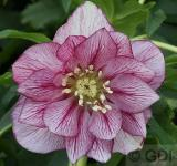 Christrose Double Picotee - Helleborus orientalis