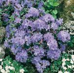 Zwerg Rhododendron Blue Tit 25-30cm - Rhododendron impeditum - Zwerg Alpenrose