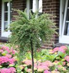 Hochstamm Kompaktwachsender Cotoneaster 40-60cm - Cotoneaster congestus