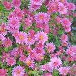 Winteraster Schweizerland - Chrysanthemum hortorum