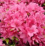 Kriechende Immergrüne Zwerg Azalee Talamanca 25-30cm - Rhododendron nakaharai