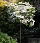 Hochstamm Gefüllter Schneeball Watanabe 60-80cm - Viburnum plicatum