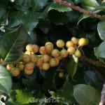 Gelbfruchtige Stechpalme Ilex Goldfrucht 80-100cm - Ilex meserveae