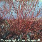 Purpur Hartriegel 80-100cm - Cornus alba