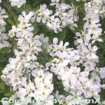 Kleine Prunkspiere The Bride 60-80cm - Exochorda macrantha