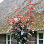 Japanische Nelkenkirsche Burgundi 80-100cm - Prunus serrulata