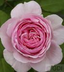 Englische Rose Geoff Hamilton® 30-60cm