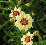 Mädchenauge Autumn Blush - Coreopsis rosea