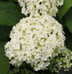 Ballhortensie Annabelle 80-100cm - Hydrangea arborescens