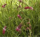 Roter Garten Wiesenknopf - Sanguisorba tenuifolia