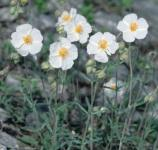 Sonnenröschen Snow Queen - Helianthemum