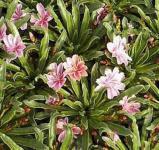 Bitterwurz Little Plum - Lewisia longipetala