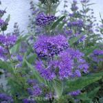 Bartblume Blauer Spatz® 40-60cm - aryopteris clandonensis