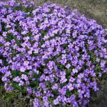 Blaukissen Schloß Eckberg - Aubrieta cultorum