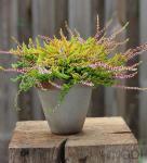 10x Besenheide Wickwar Flame - Calluna vulgaris