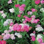 Schafgarbe Wesersandstein - Achillea millefolium
