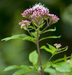 Rosa Wasserdost - Eupatorium cannabinum