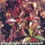 Rote Teppichbeere Scheinbeere - Gaultheria procumbens