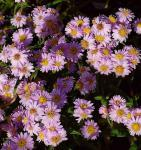 Rauhblattaster Strawberry and Cream - Aster novae angliae