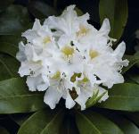Großblumige Rhododendron Cunningham White 25-30cm - Alpenrose