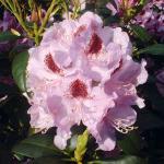Großblumige Rhododendron Humboldt 25-30cm - Alpenrose