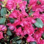 Rhododendron Gartendirektor Glocker 40-50cm - Rhododendron williamsianum