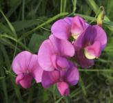 Staudenwicke Rosa Perle - Lathyrus latifolius