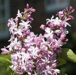 Edelflieder Flamingo - Kircher-Collection 60-80cm - Syringa vulgaris