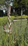 Affodill - Asphodelus ramosus