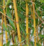 Goldener Peking Bambus 125-150cm - Phyllostachys aureocaulis