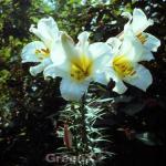 Königslilie Album - Lilium regale
