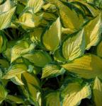 Funkie Orange Marmalade - Hosta cultorum