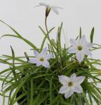Sternblume White Star - Ipheion uniflorum