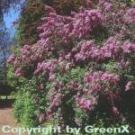 Königsflieder Heckenflieder 100-125cm - Syringa chinensis