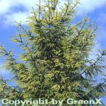 Orientalische Goldfichte 30-40cm - Picea orientalis Aurea