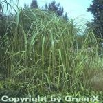 Goldleistengras Aureomarginata - großer Topf - Spartina pectinata