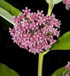 Papageien Blume - Asclepias syriaca