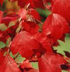 Ahorn Summer Red® 100-125cm - Acer rubrum