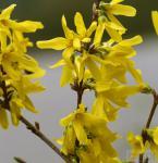 Goldglöckchen Spectabilis® 80-100cm - Forsythia intermedia