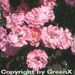 Hochstamm Rose Blühwunder 08 40-60cm