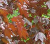 Säulen Blut Ahorn 60-80cm - Acer platanoides