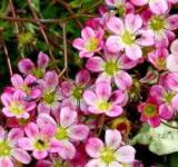 Moossteinbrech Blütenteppich - Saxifraga arendsii