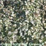 Waldnessel Beacon Silver - Lamium maculatum