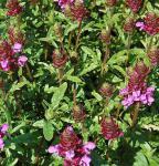 Großblütige Braunelle Gruß an Isernhagen - Prunella grandiflora
