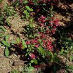 Weigelie All Summer Red 40-60cm - Weigela florida