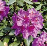 Großblumige Rhododendron Lee´s Dark Purple 25-30cm - Alpenrose
